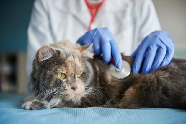 mascota y salud gato en veterinario